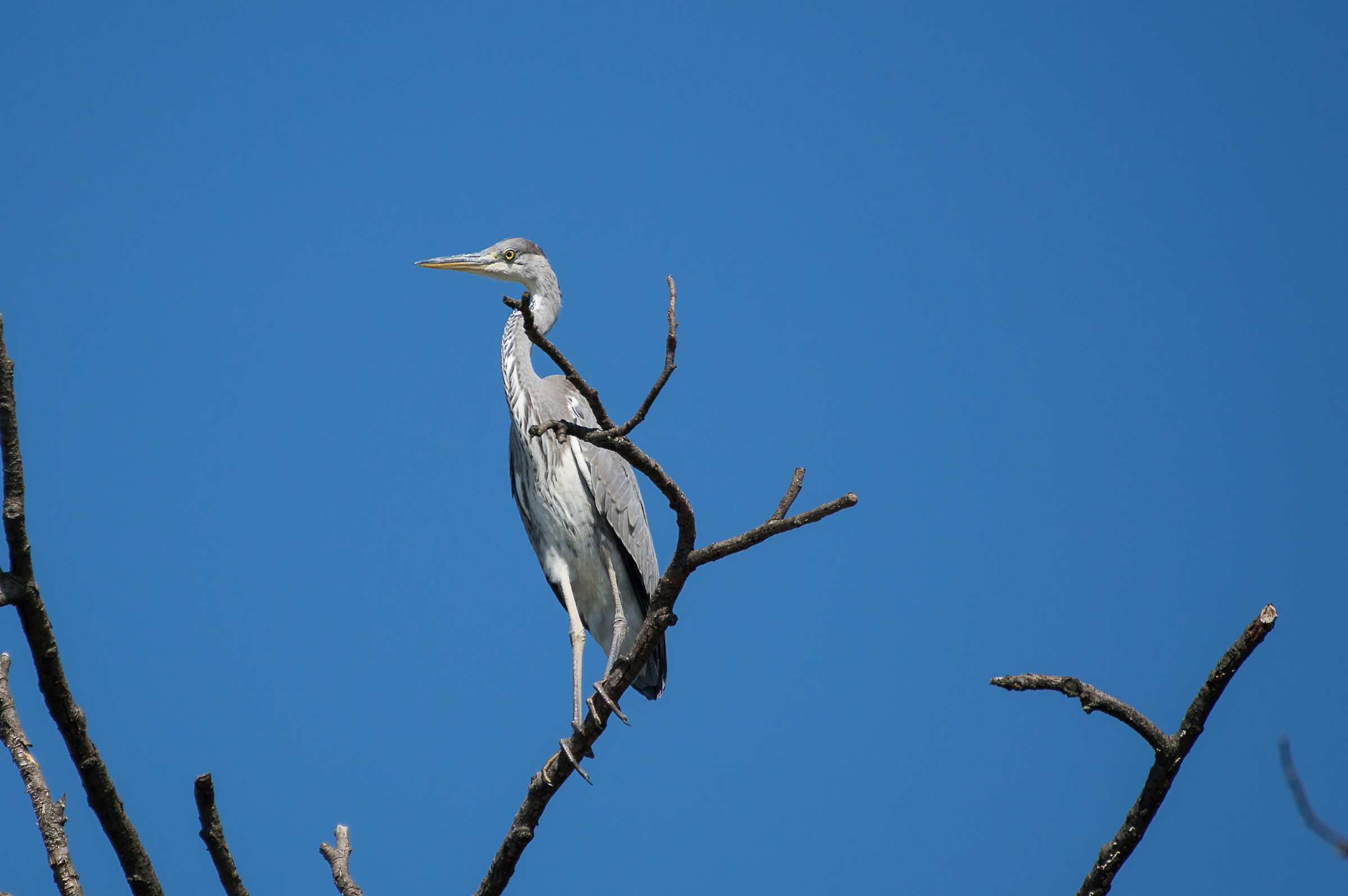 Gray heron...