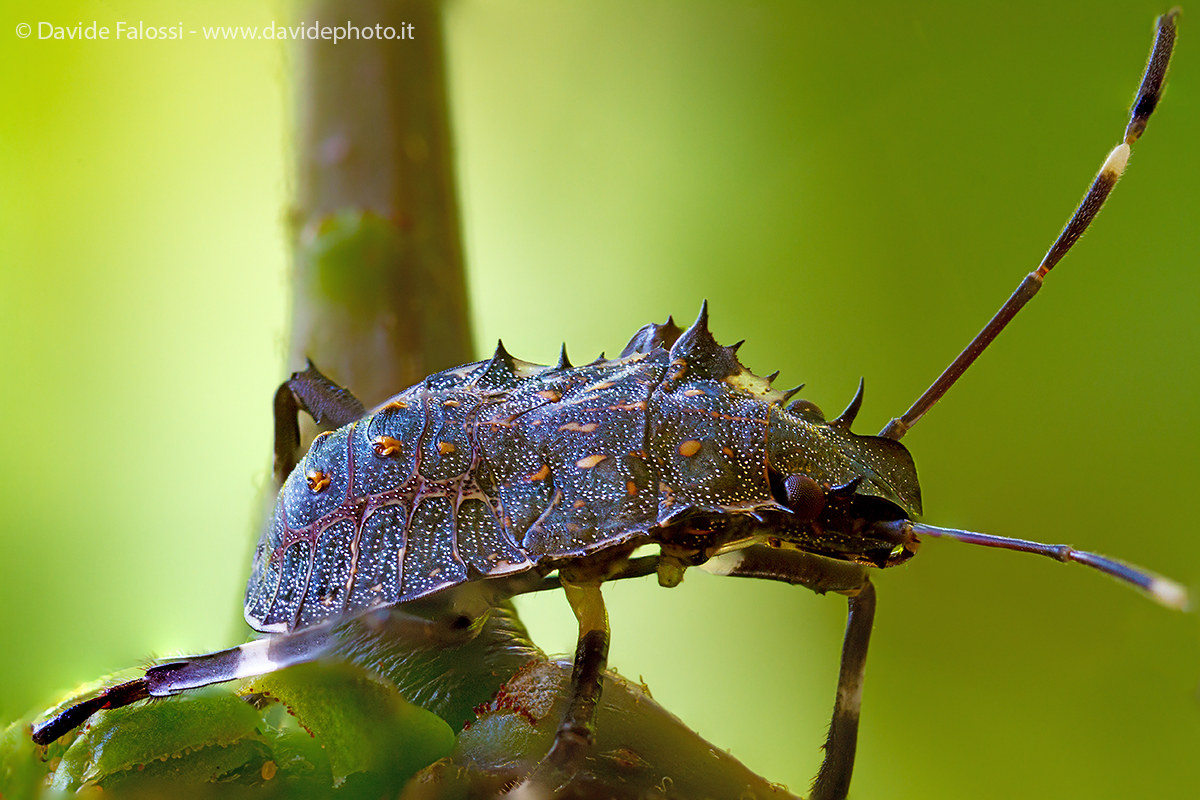 Neanide of Hemiptera (brown marmorated stink bug)...