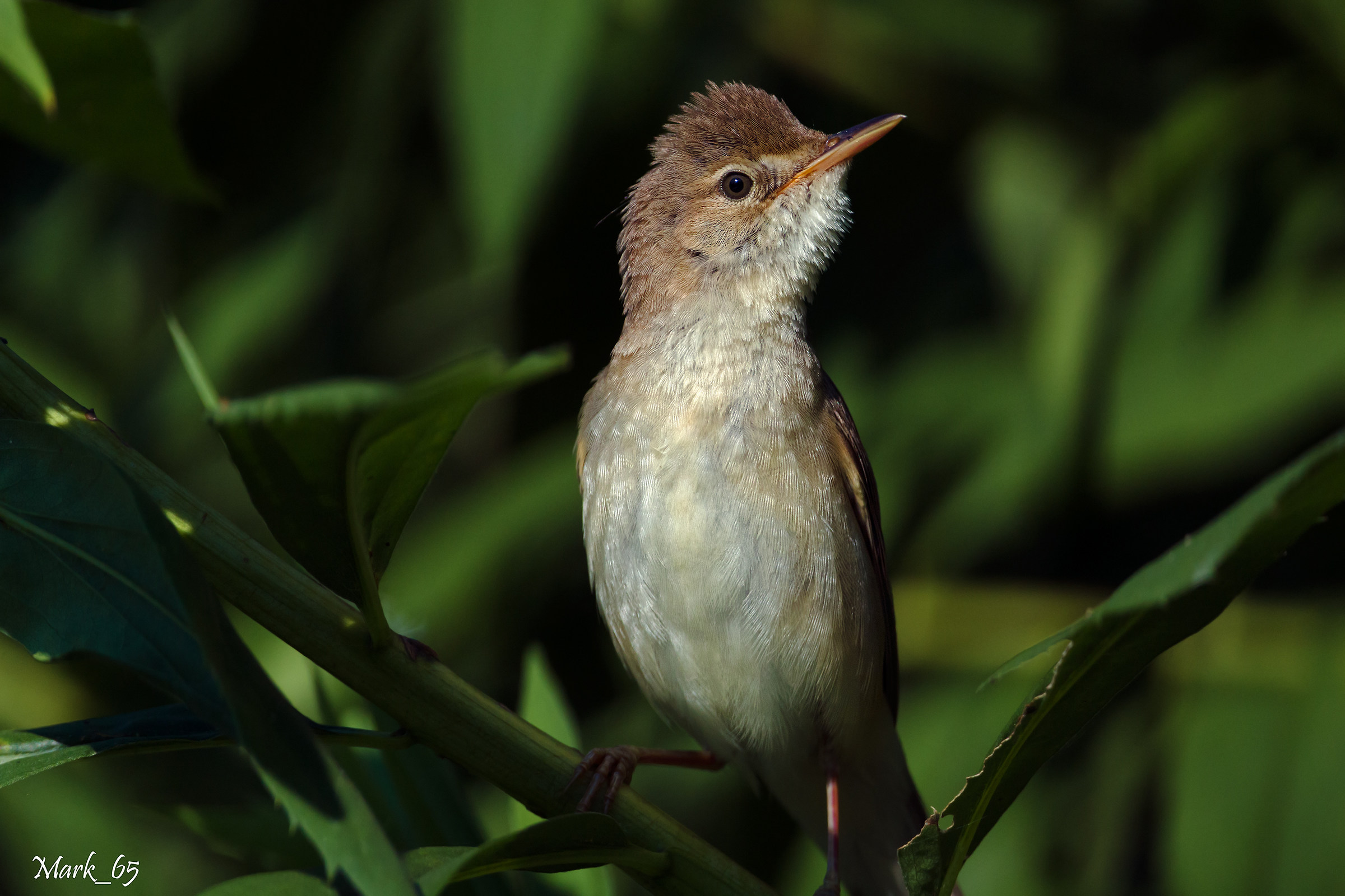 Reed warbler ... Featured...