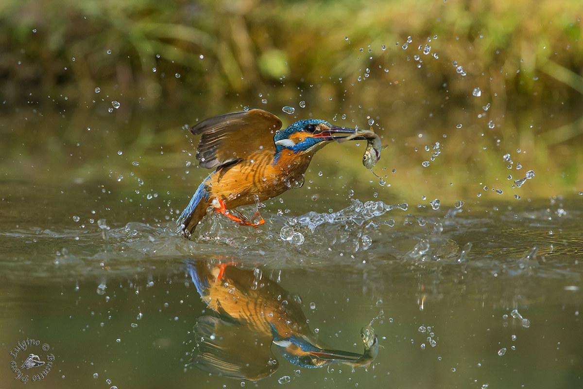 Kingfisher with fish...
