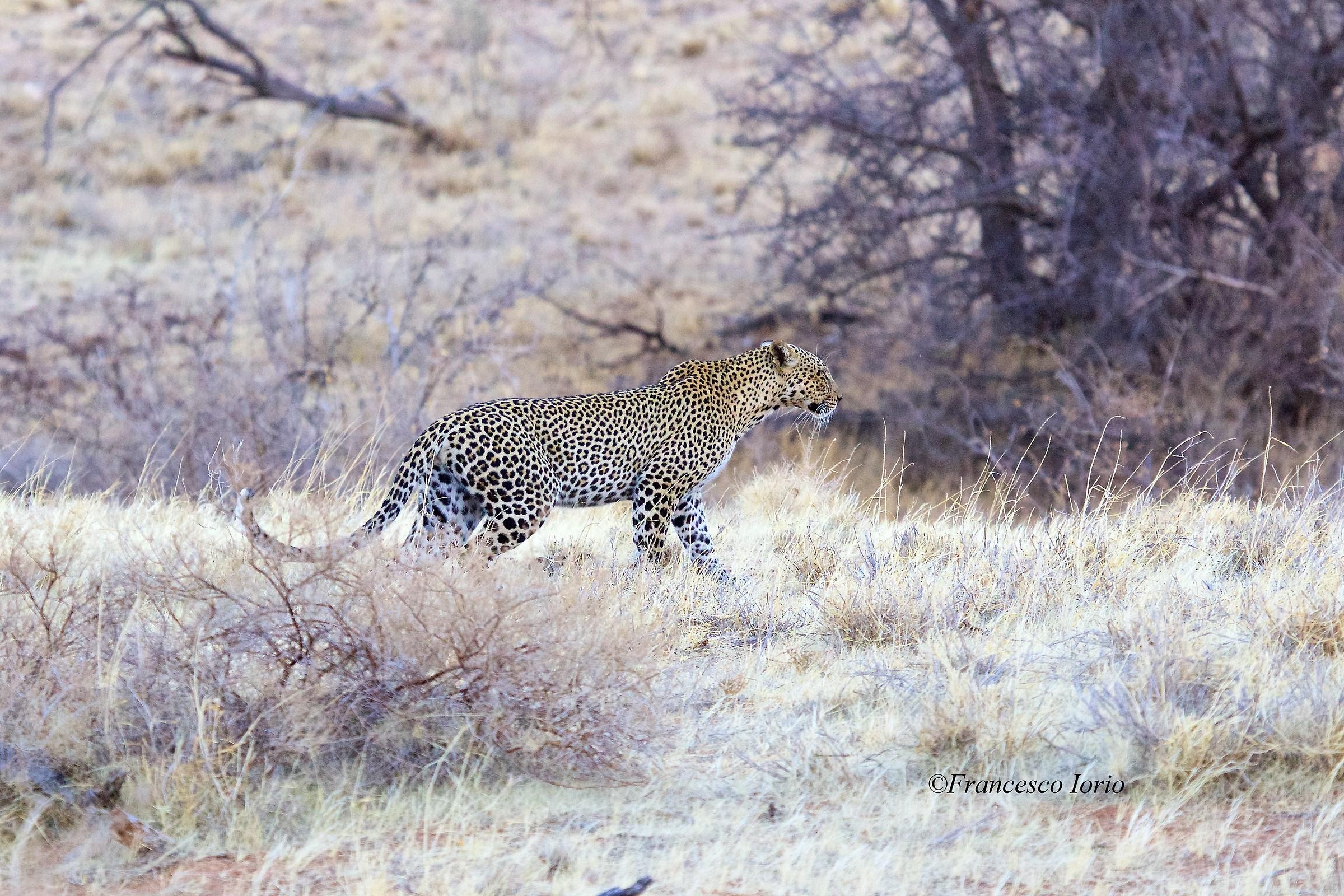 Leopard in Samburu...