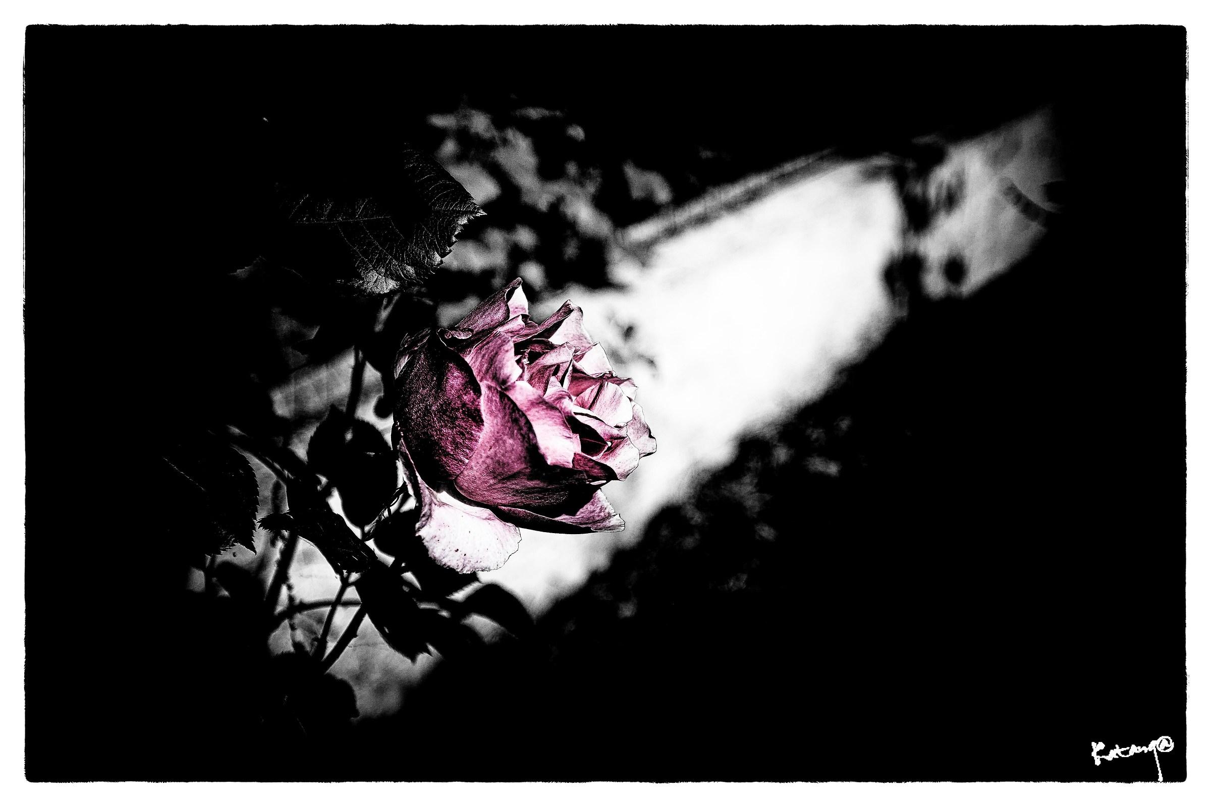 Rose 2...