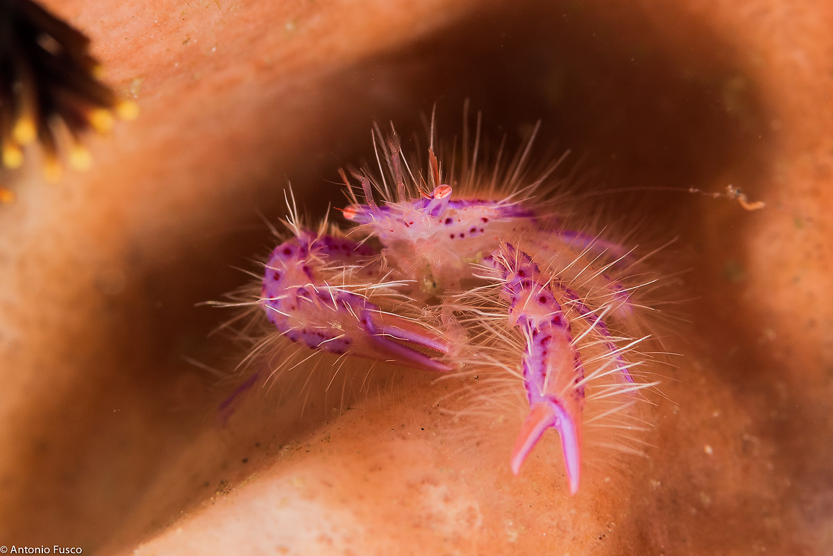 Hairy Squat Lobster...