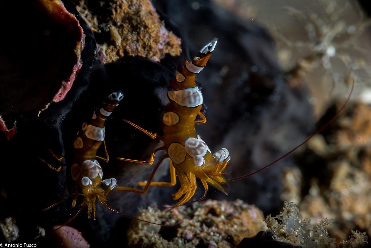 Thor amboinensis (Sexy Shrimp)...