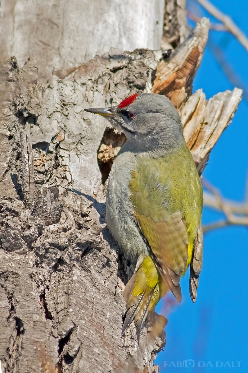 Woodpecker Cenerino...