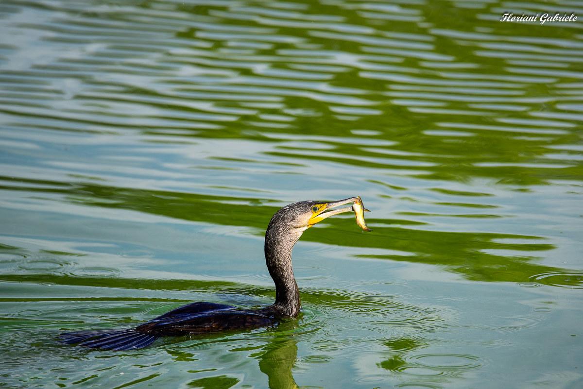 cormorant...