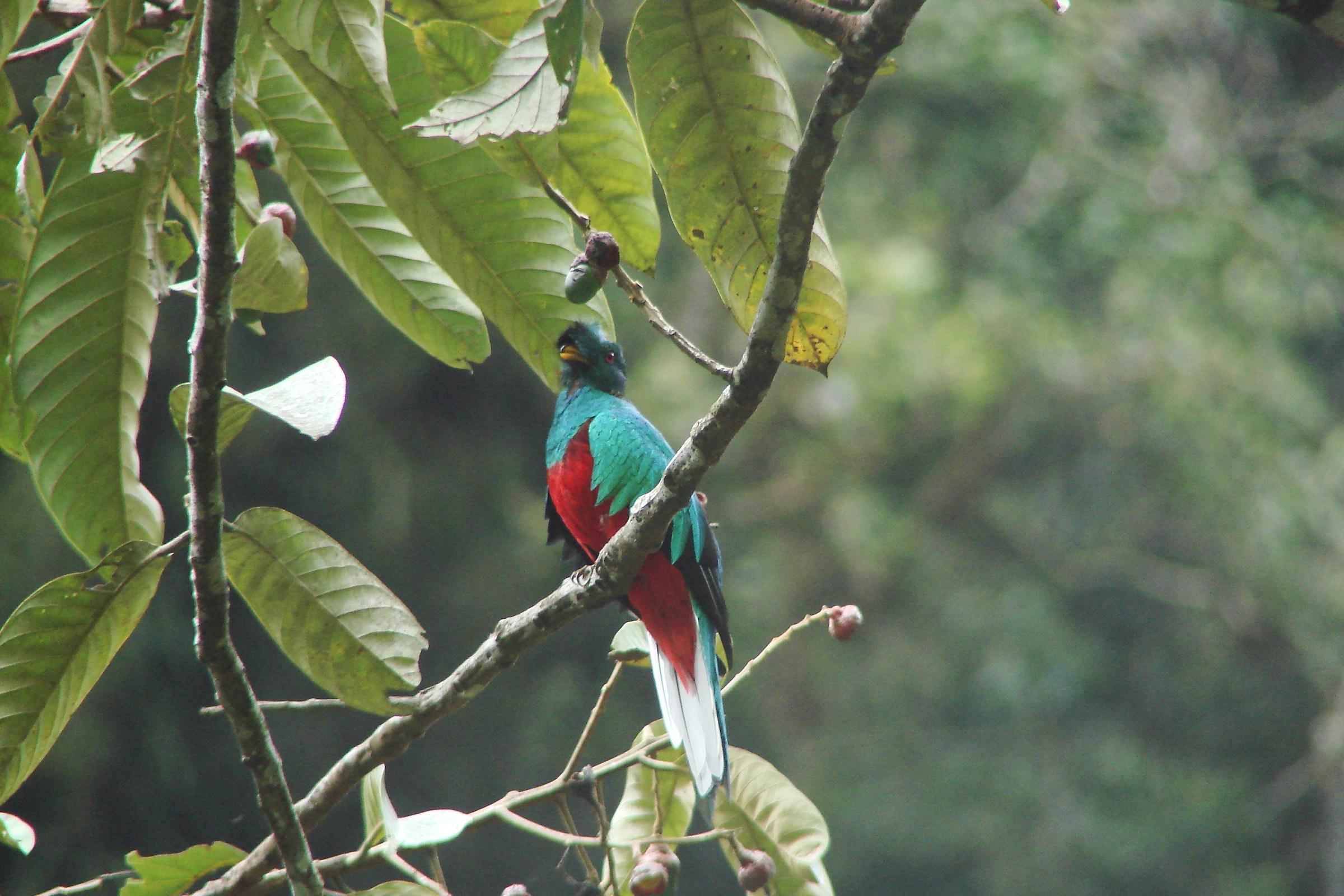 resplendent quetzal...