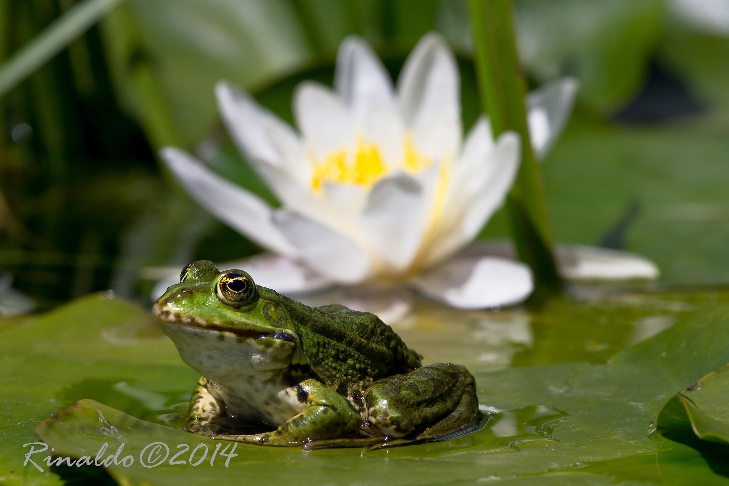 The Frog Prince...