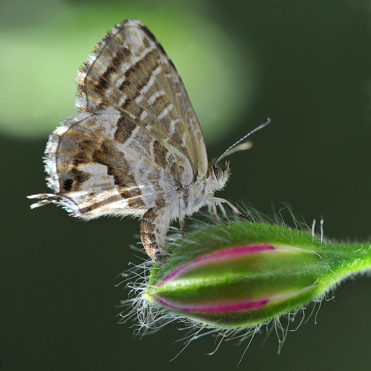 Cacyreus marshalli, Lycaenidae...