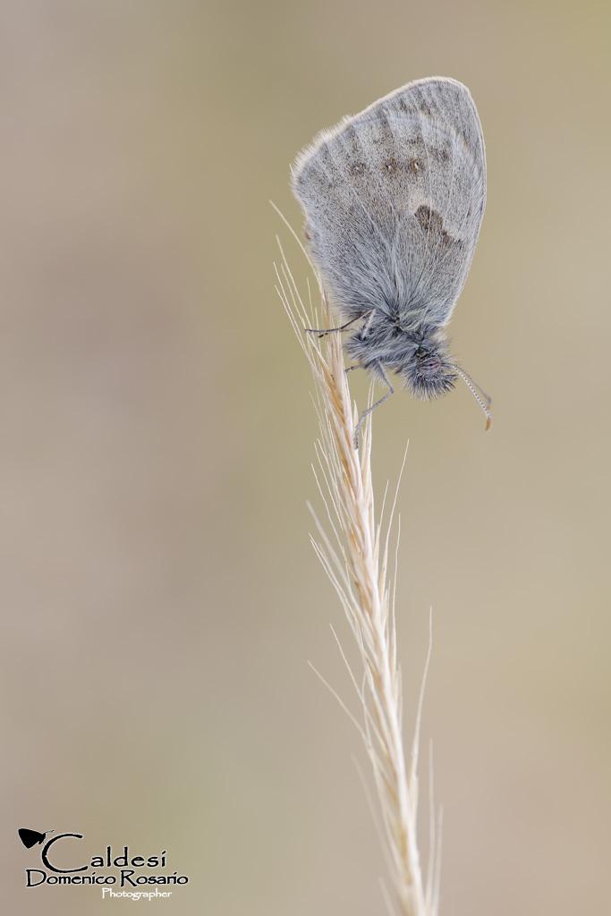 Coenonympha pamphilus...