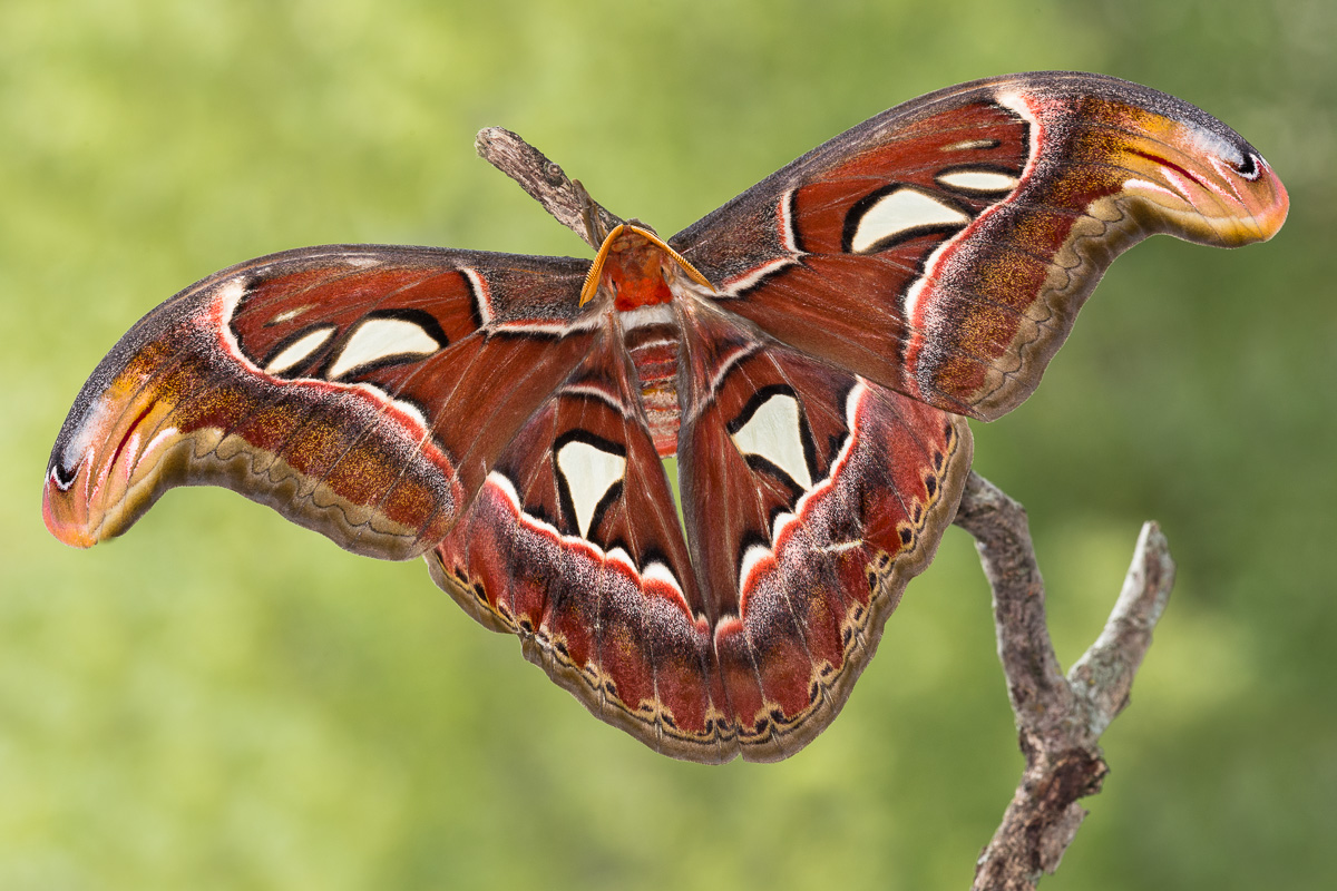Falena cobra (Attacus atlas - maschio)...