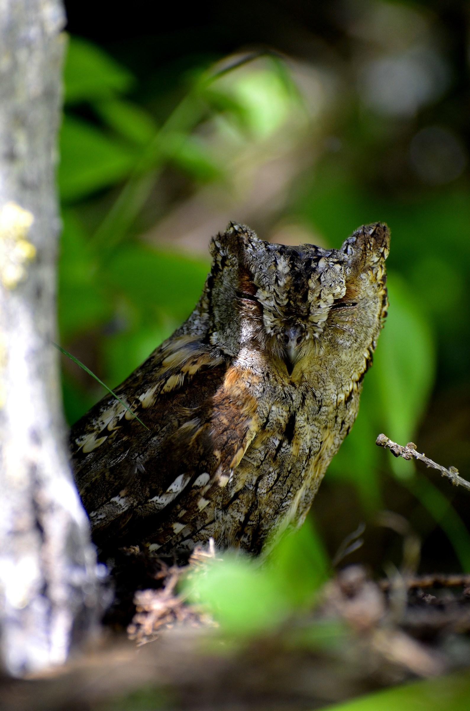 scops owl sleepy...