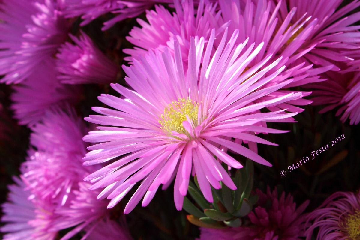 Fuchsia Flower...