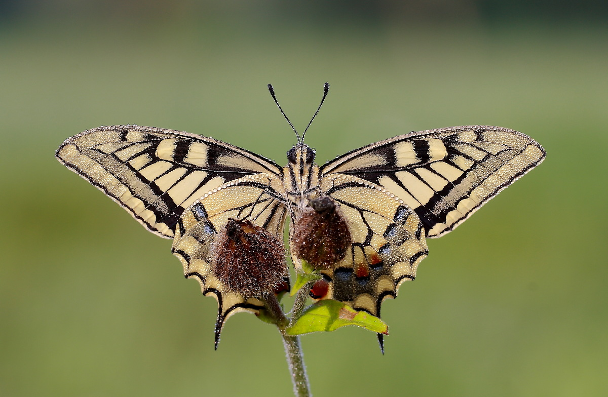 Machaon...