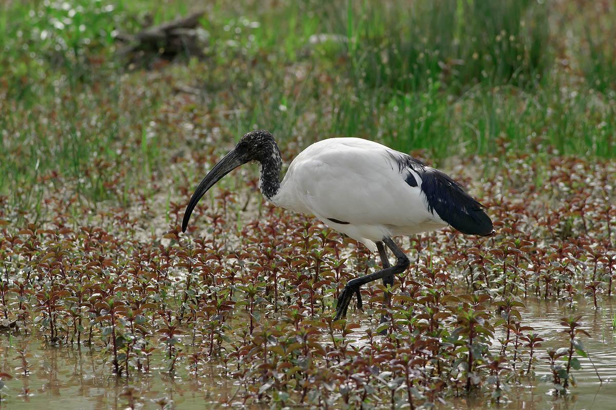 Threskiornis melanocephalus (black-headed Ibis)...