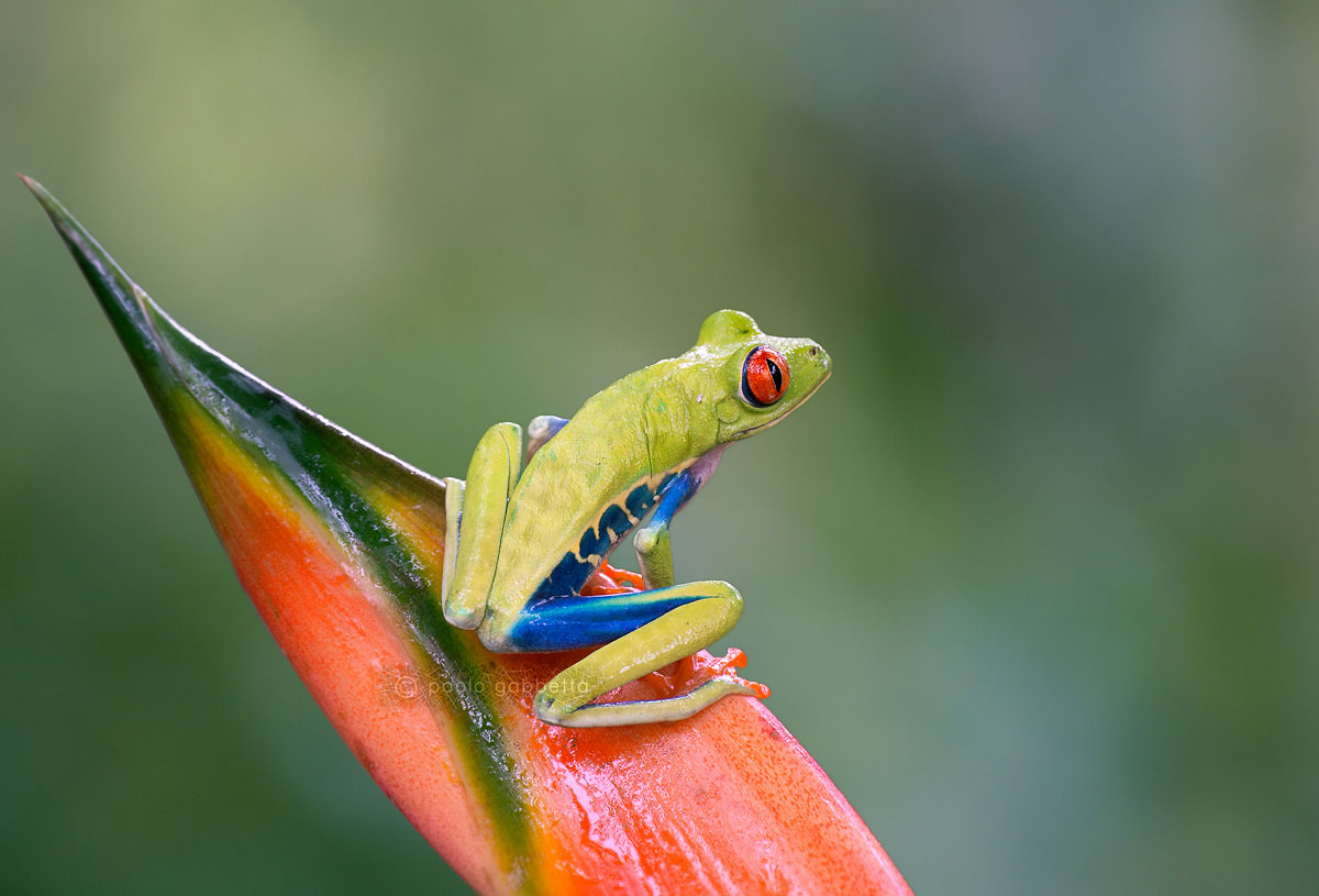 Red eyed tree frog...