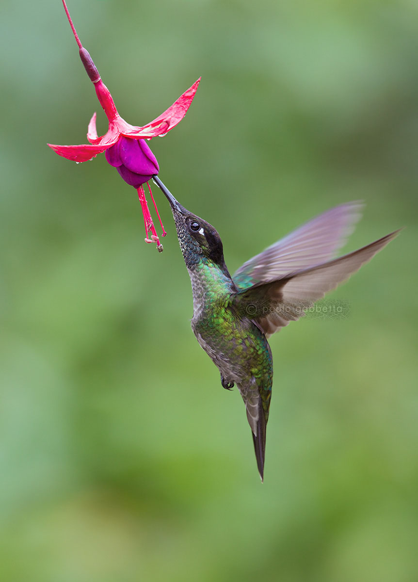 Magnificient Hummingbird...