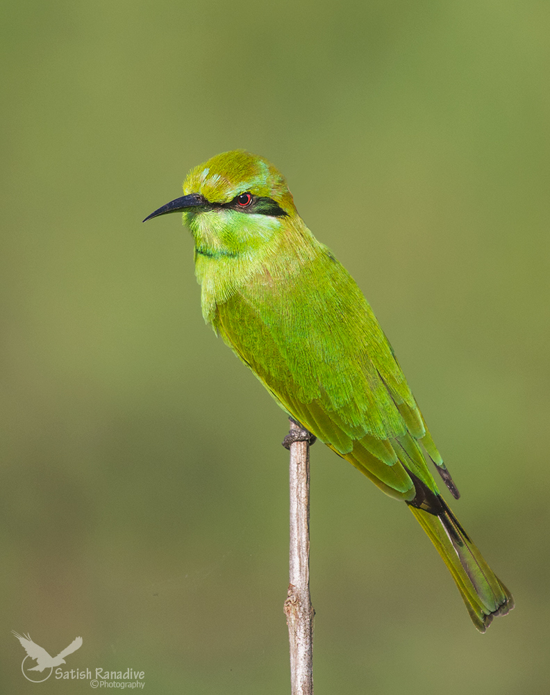 Green Bee-eater....