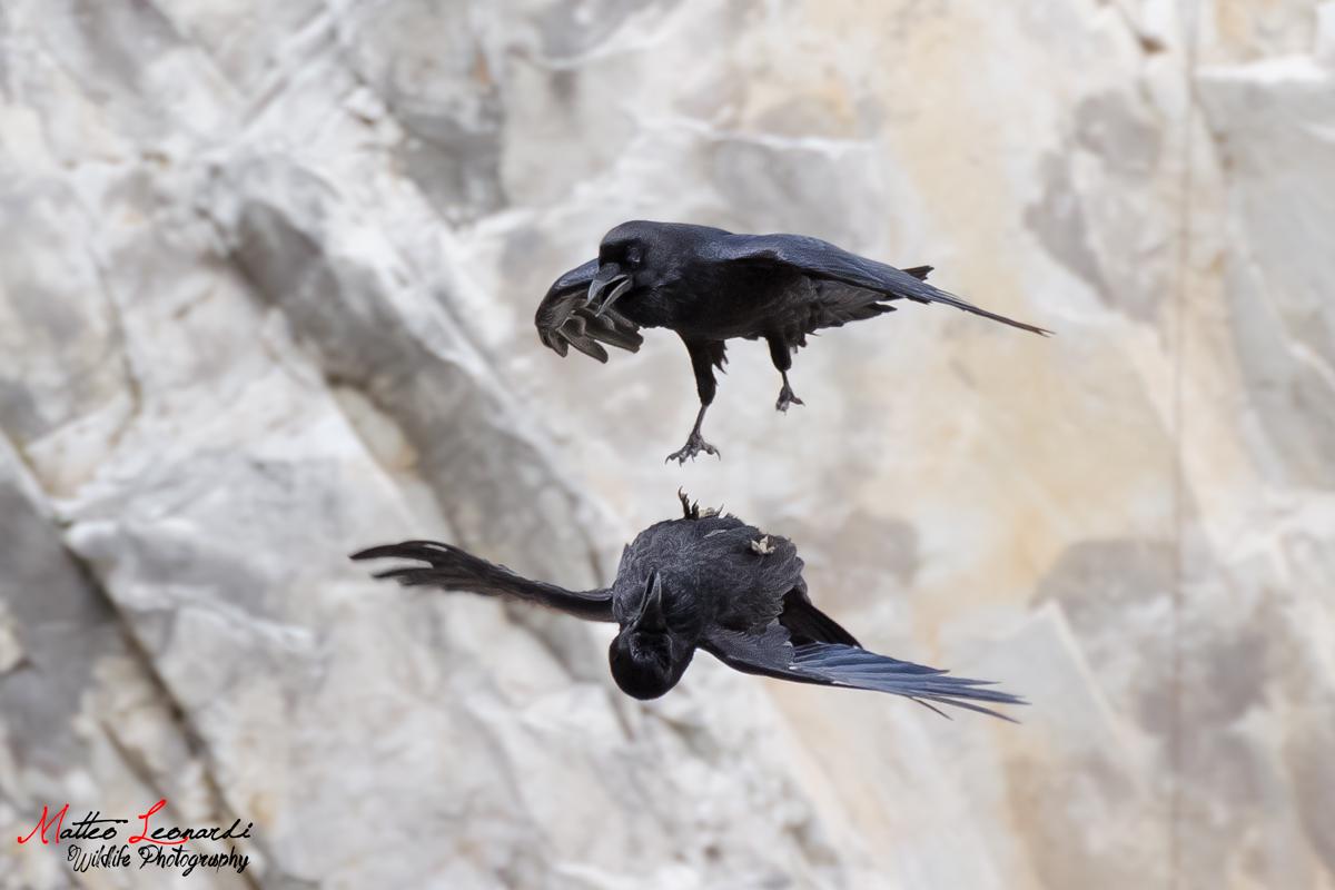 Sotto Sopra - Imperials Crows...