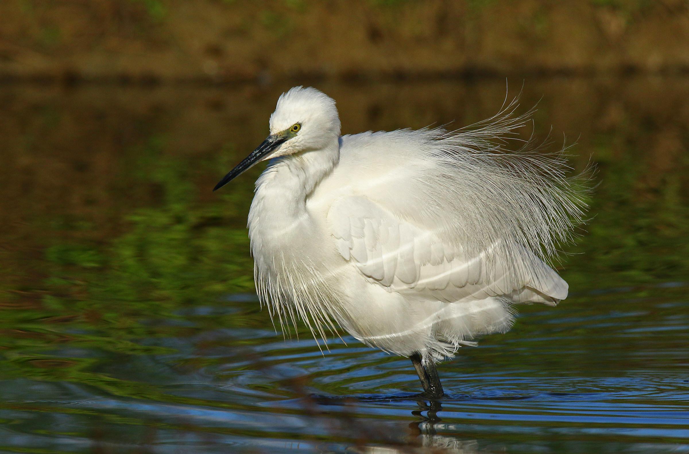The egret disheveled...