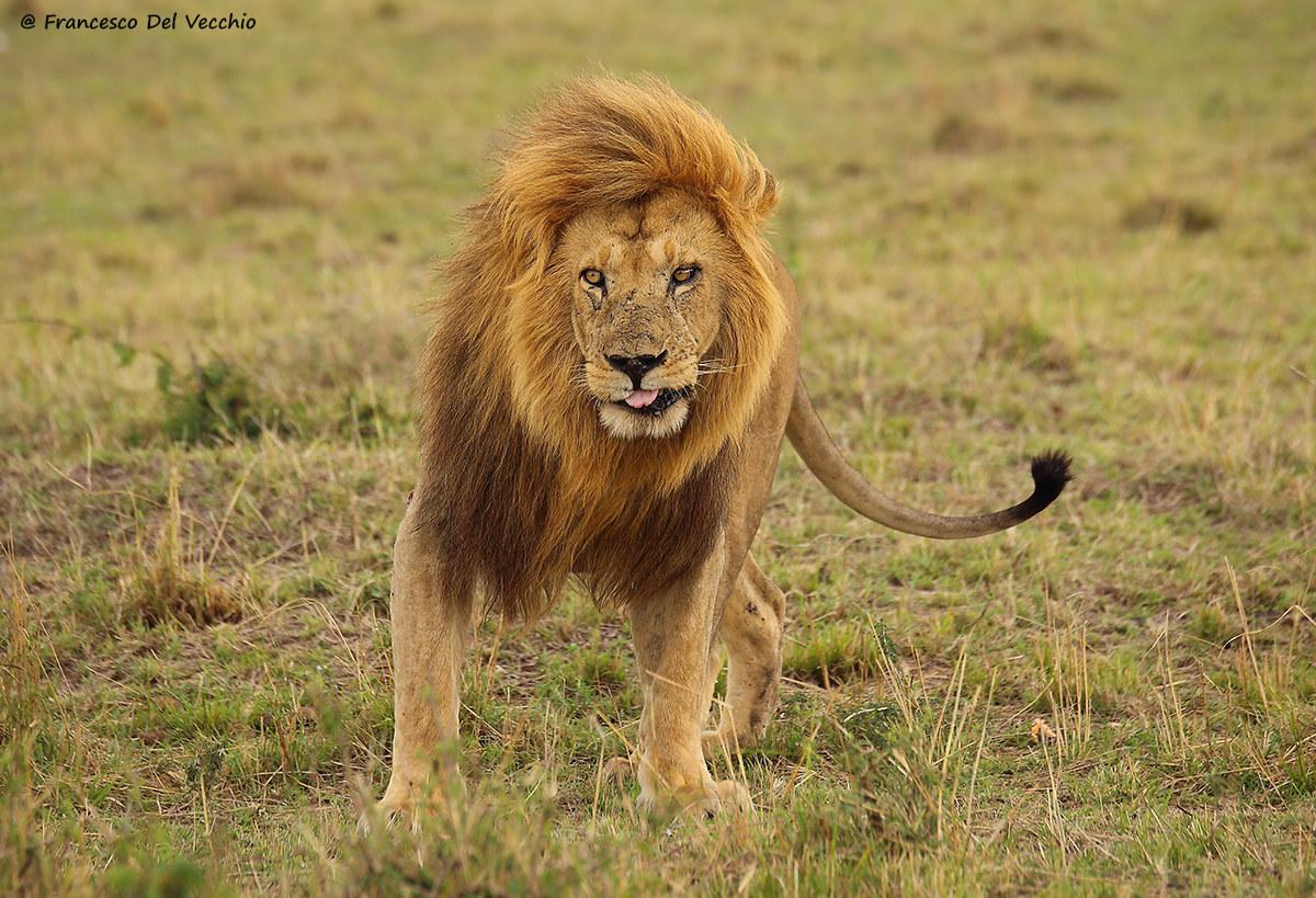Grimace, one of the lions pià famous Mara...