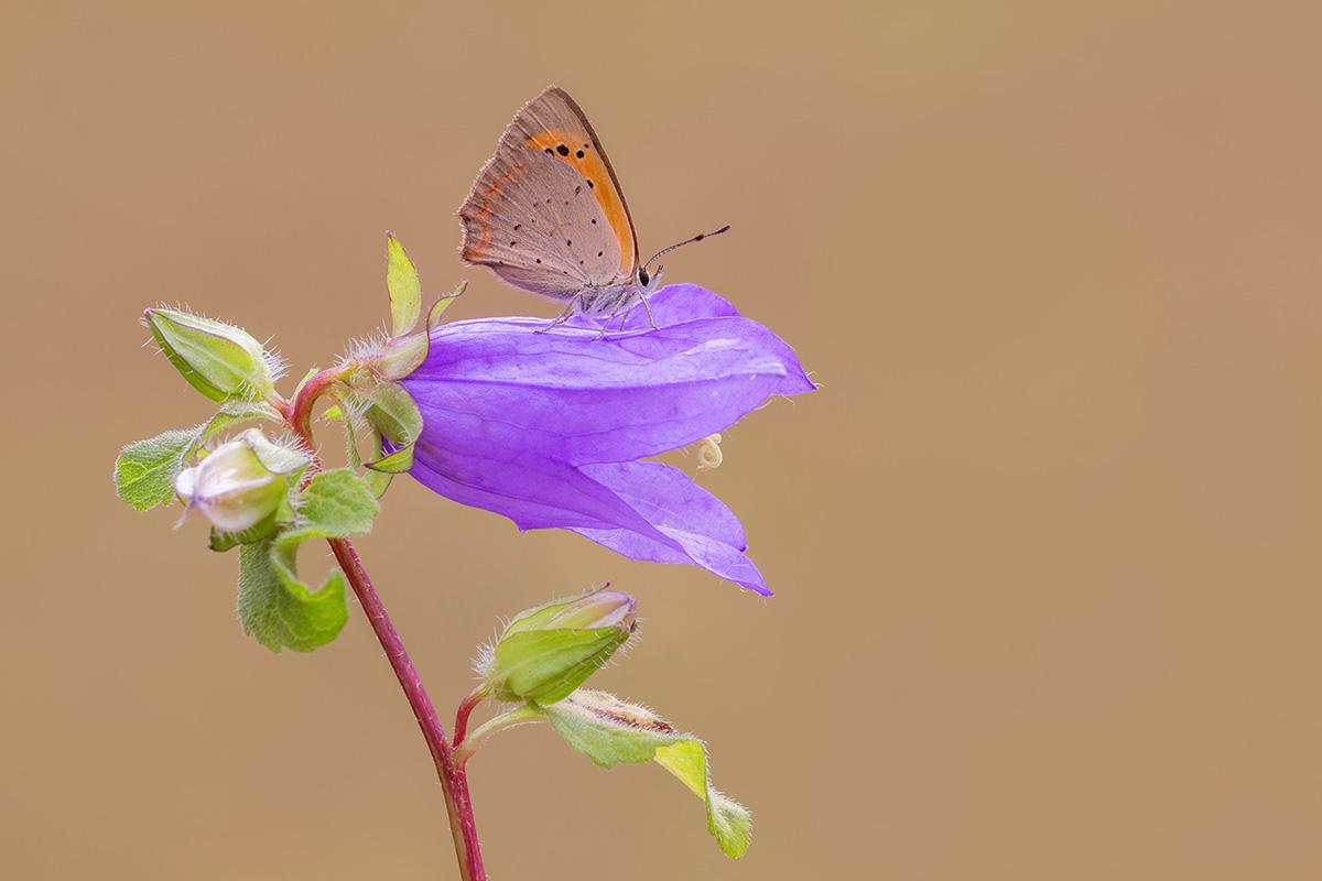 Licenide su fiore...
