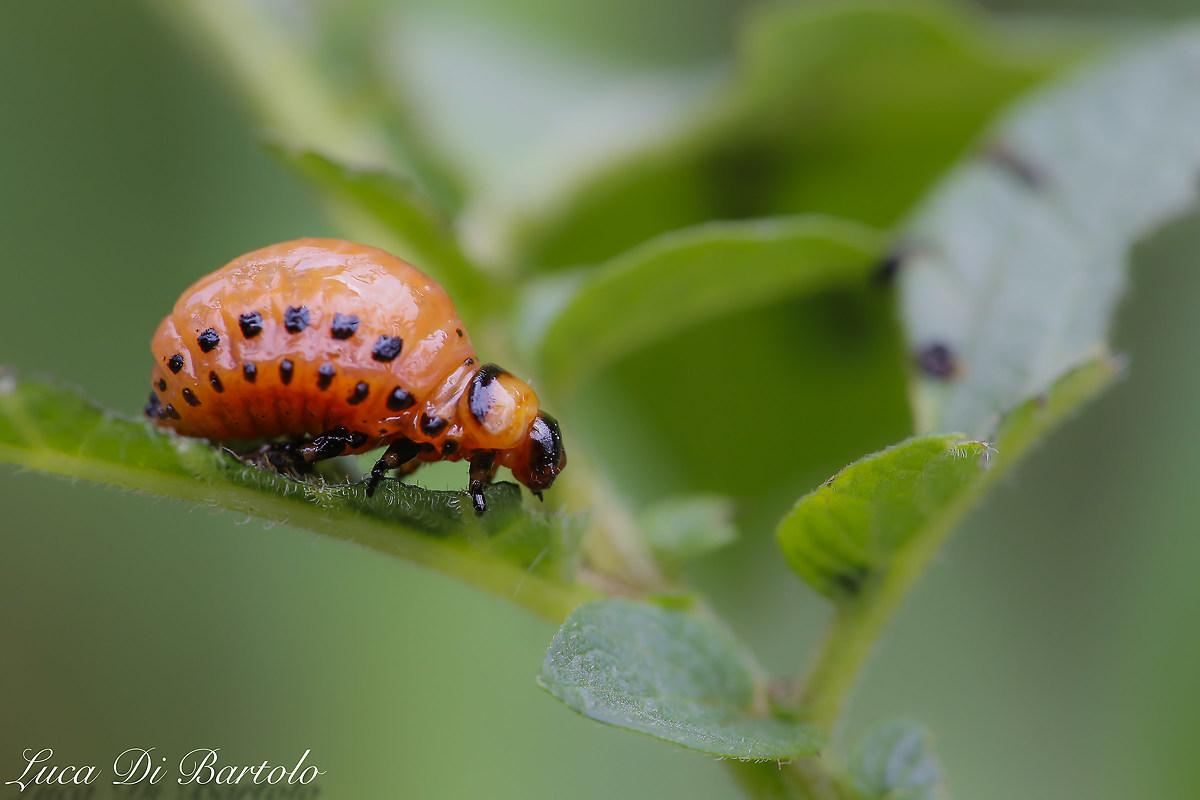 Larva of Colorado Potato Beetle 2   JuzaPhoto