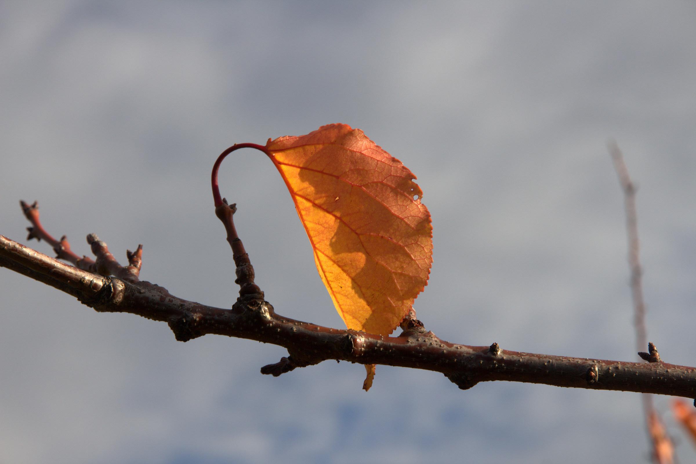 last leaf...