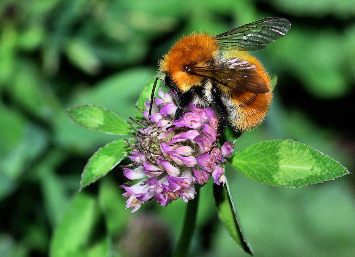 Bumblebee at work...