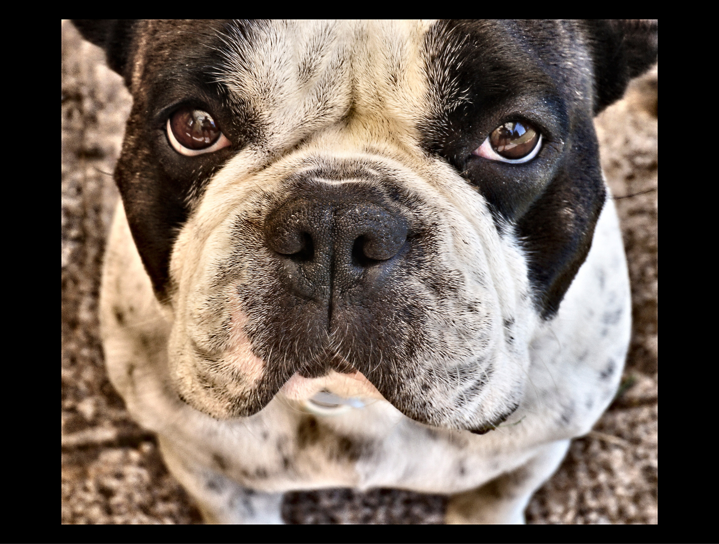 The puzzled look of a Boxer French...