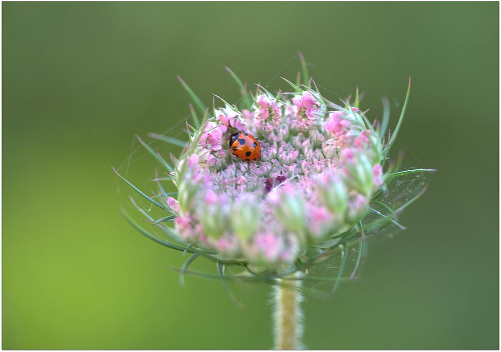 Ladybug septenpunctata...
