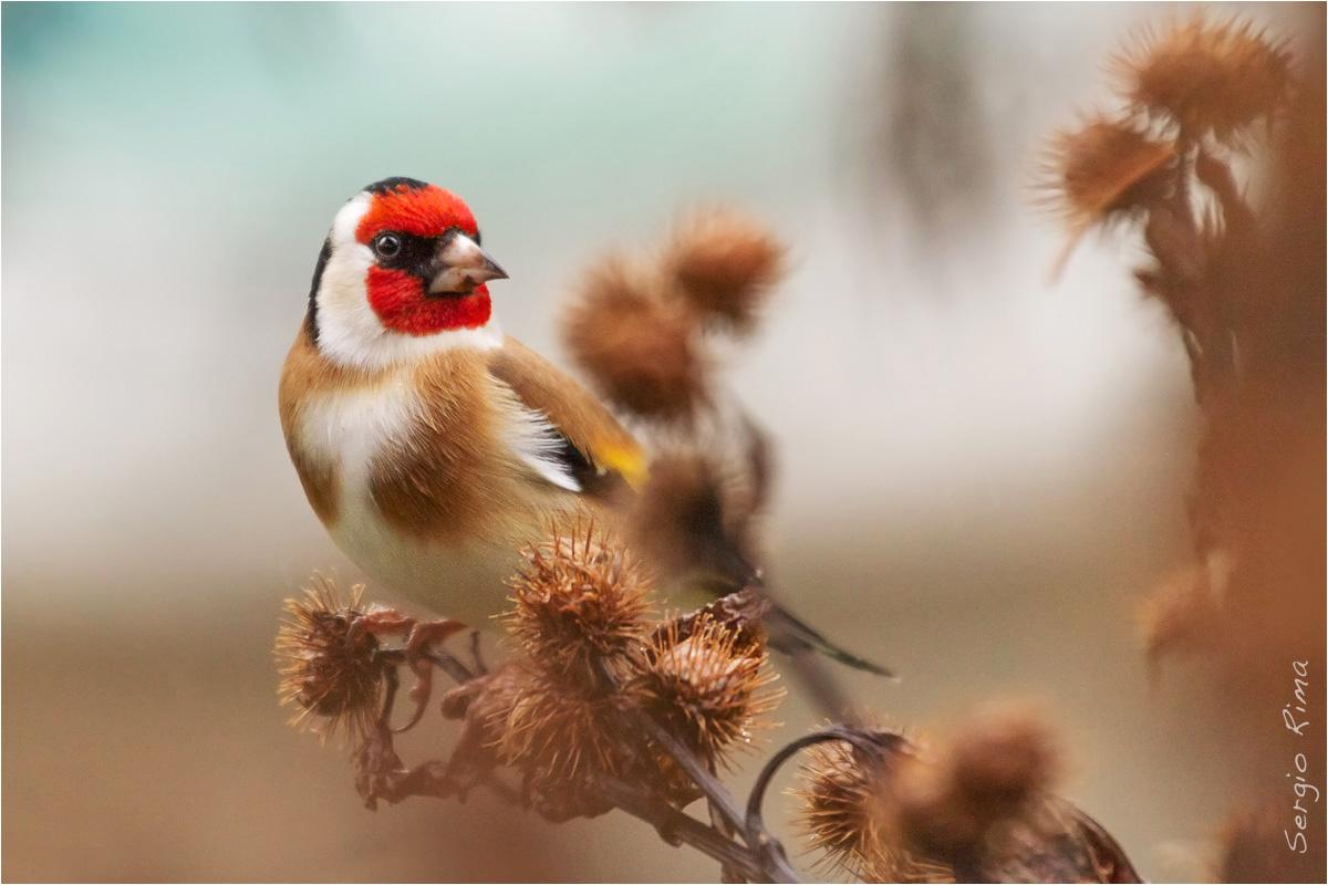 Goldfinch...