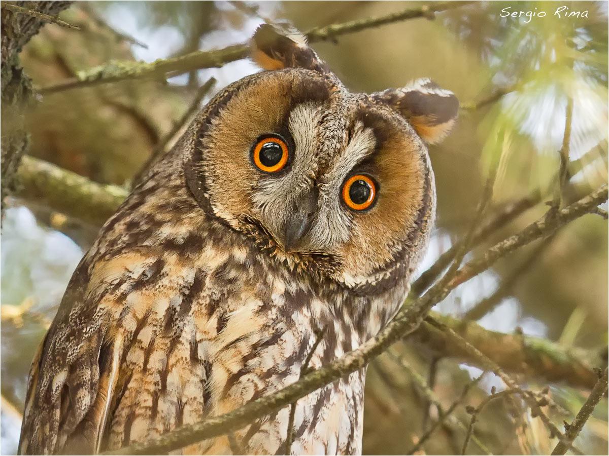 Screech owl...