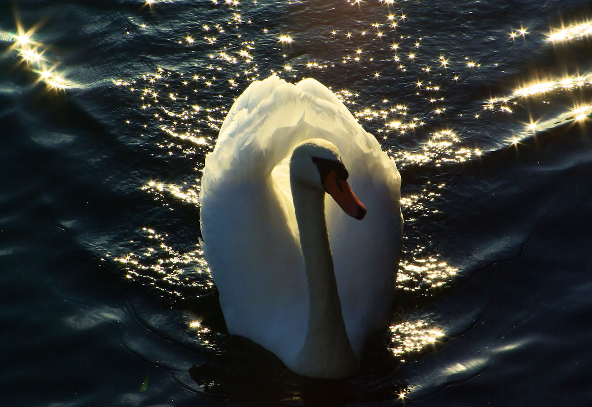Swan Lake Iseo...
