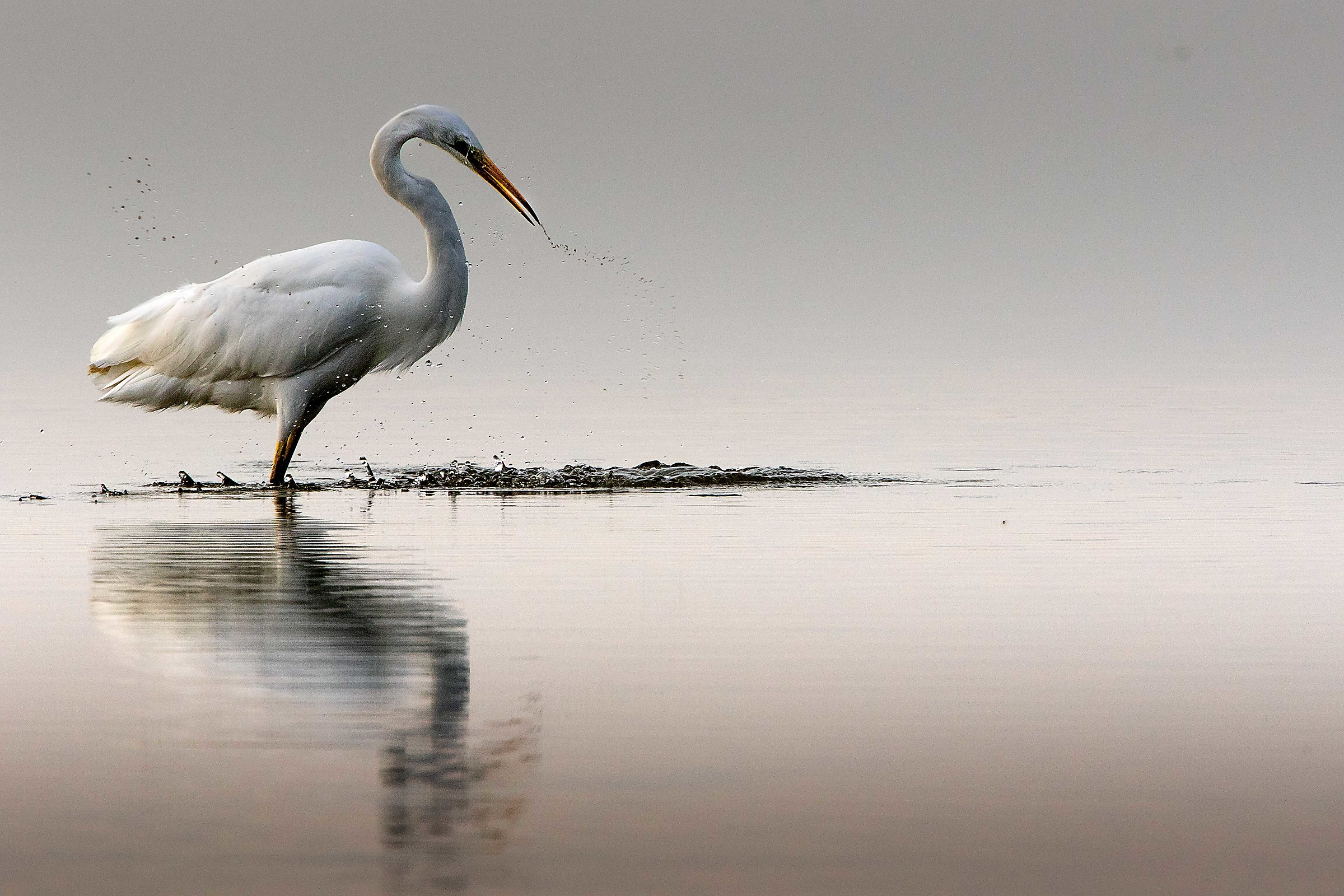 great white heron...