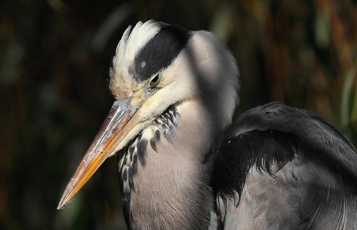 young heron...