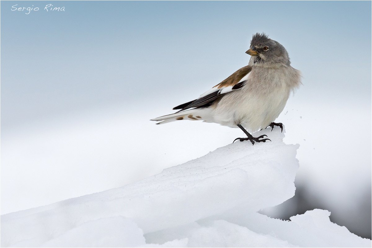Snow finch...