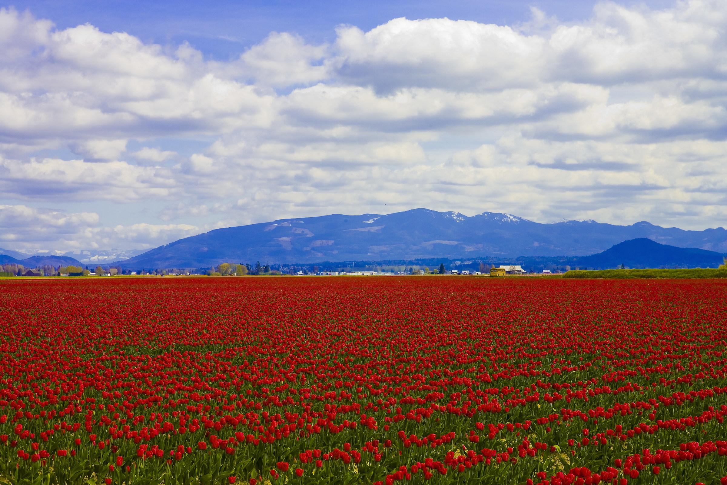 Campi di tulipani...