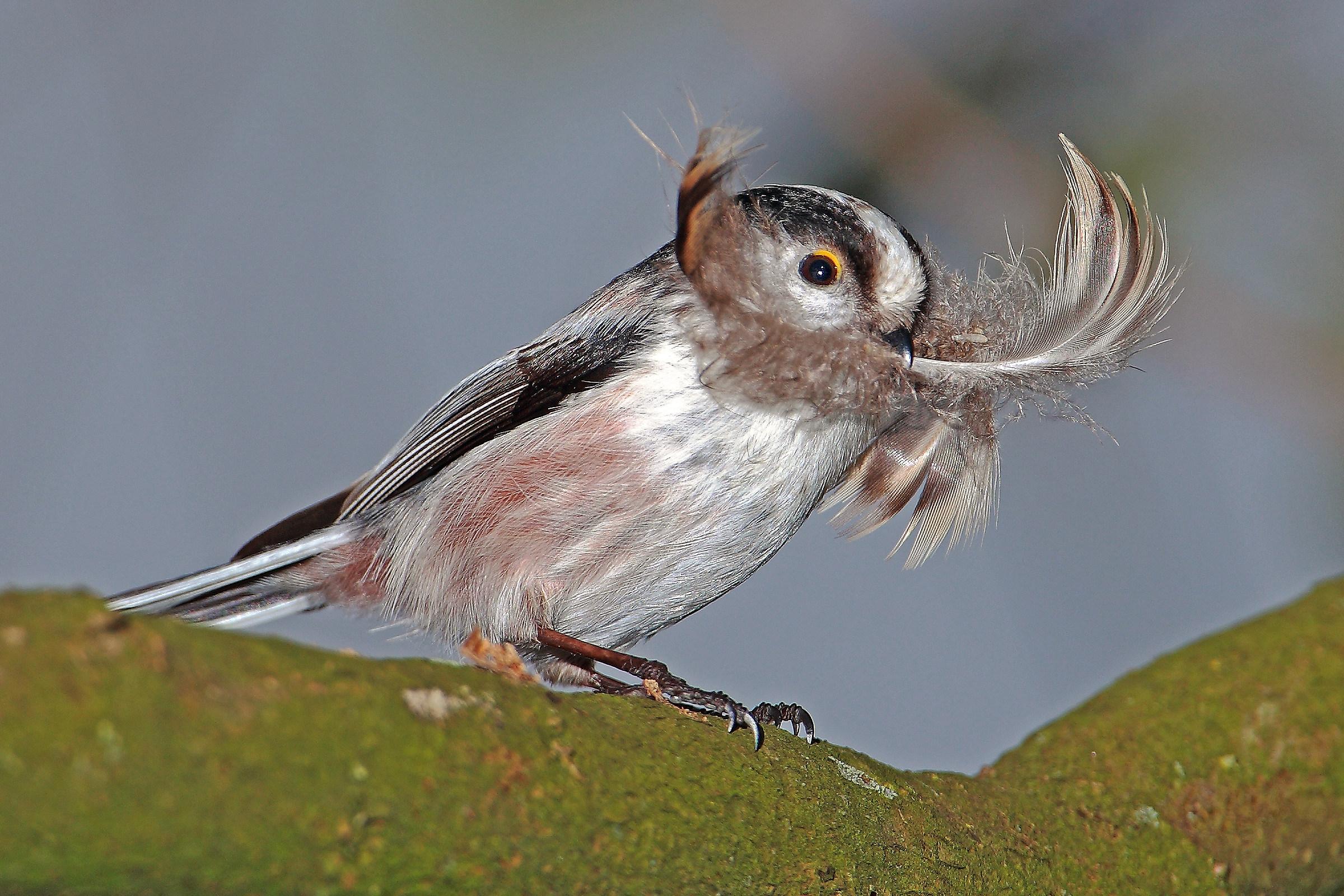 codibugnolo in preparations for the nest...