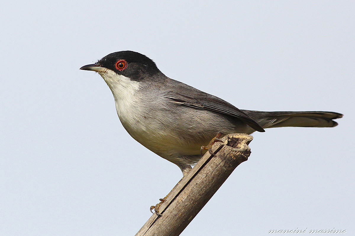 M warbler (Sylvia melanocephala)...