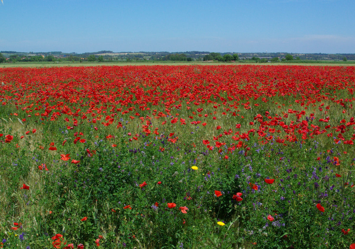 Red Field...