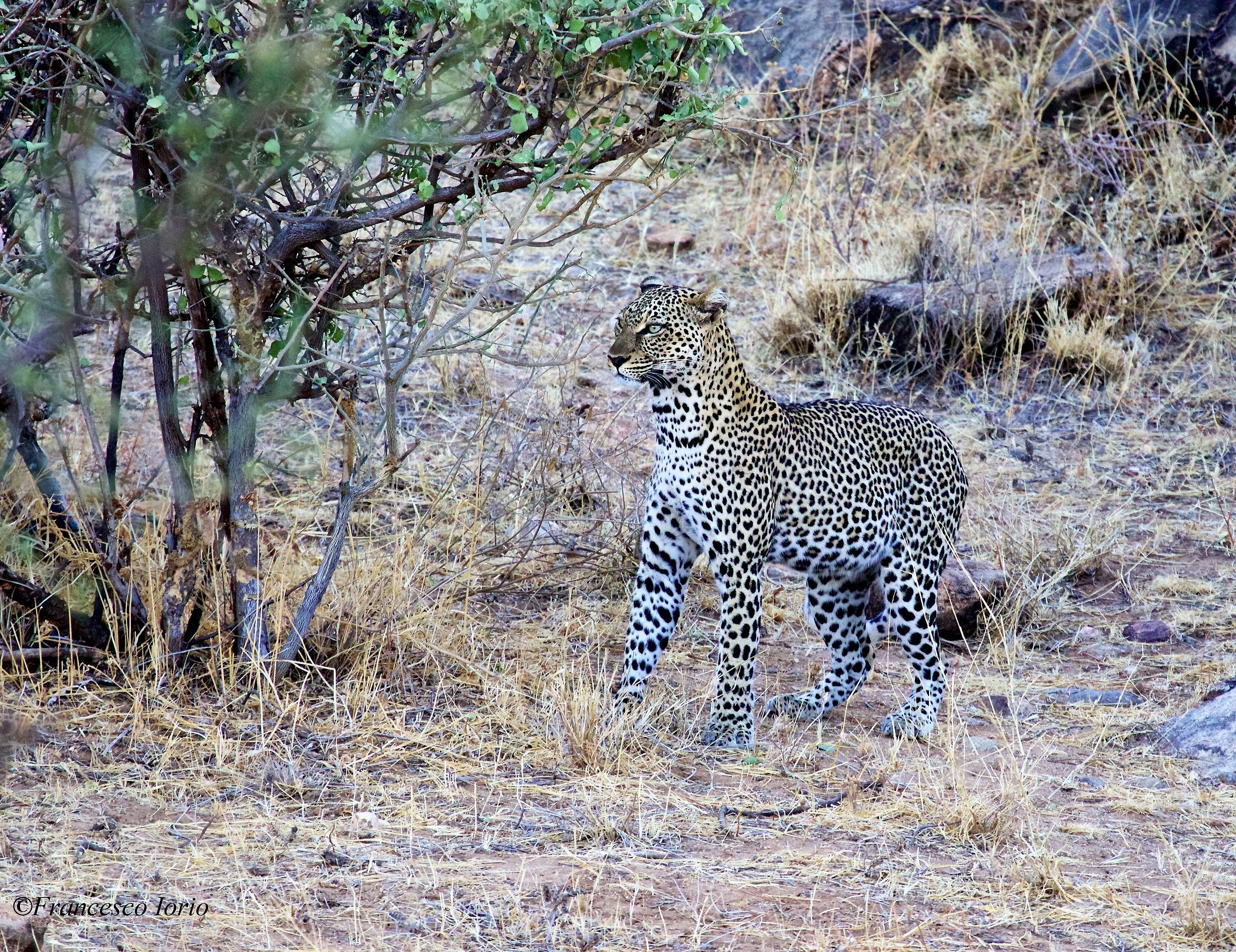 The look of leopard...