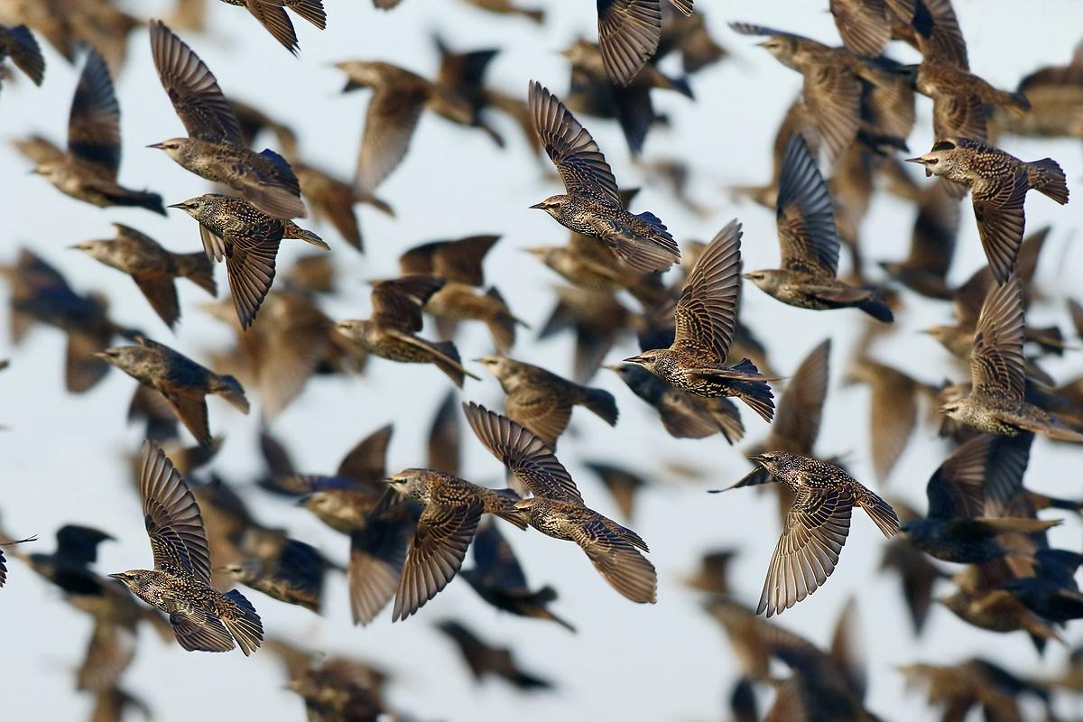 Starlings...