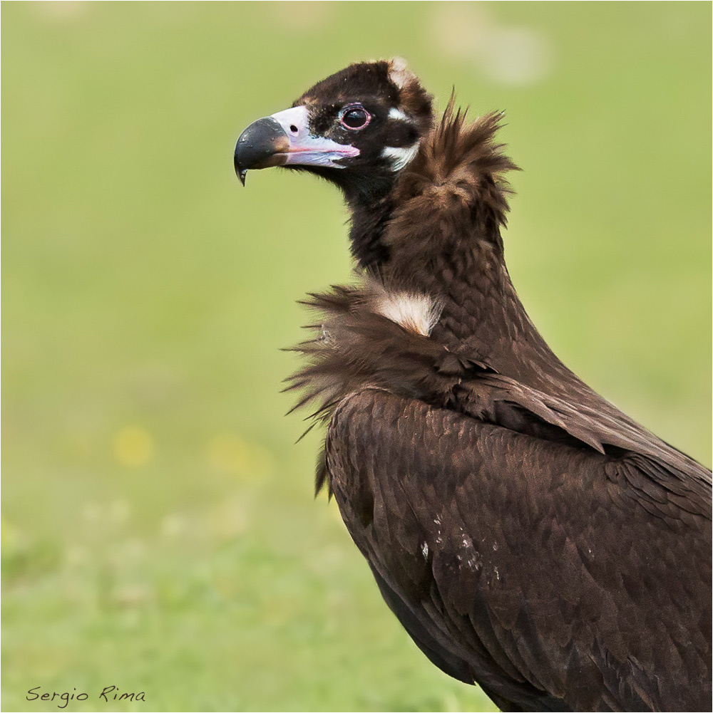 Vulture monaco...