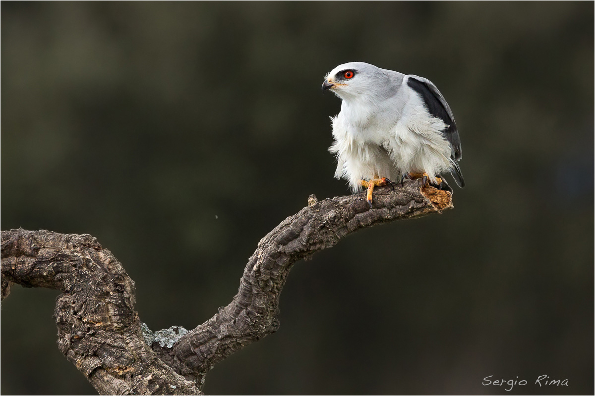 Black-winged Kite / 2...