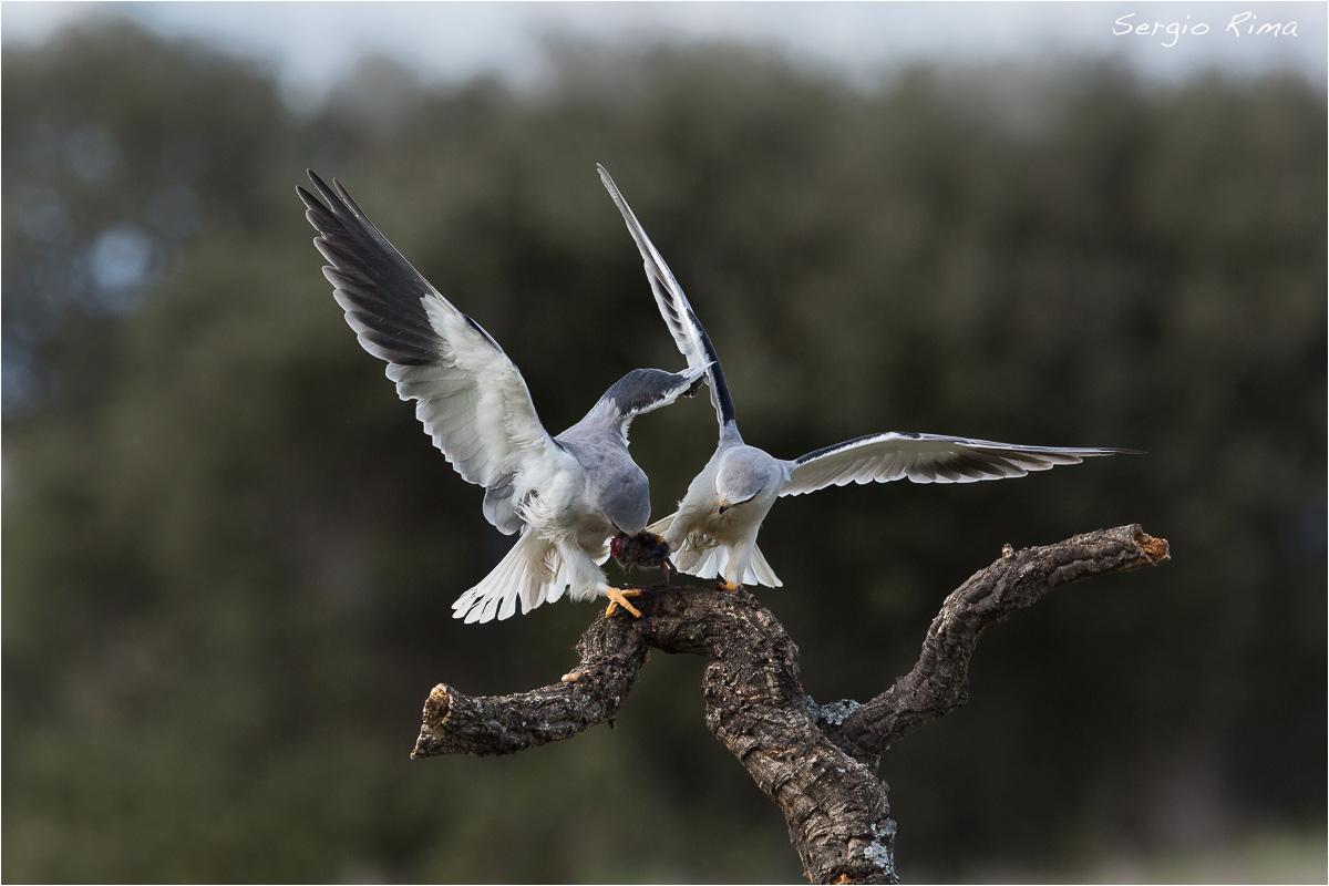 Black-winged Kite / 4...