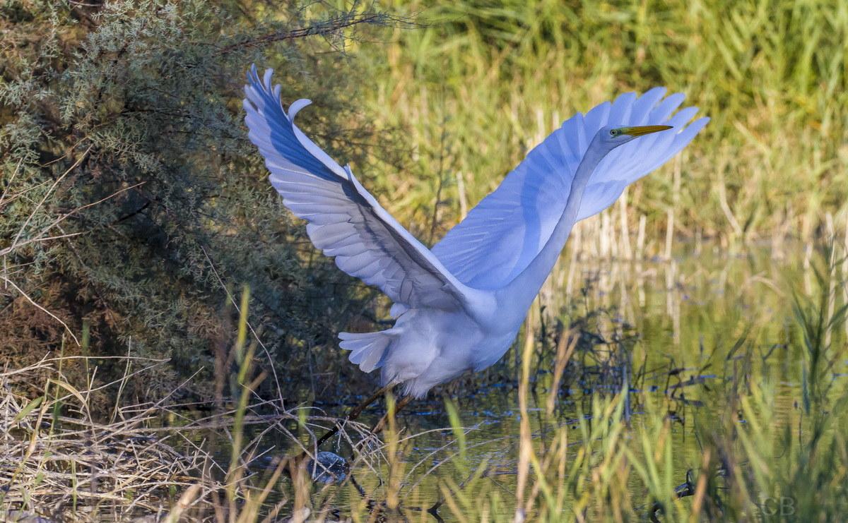 Great Egret...