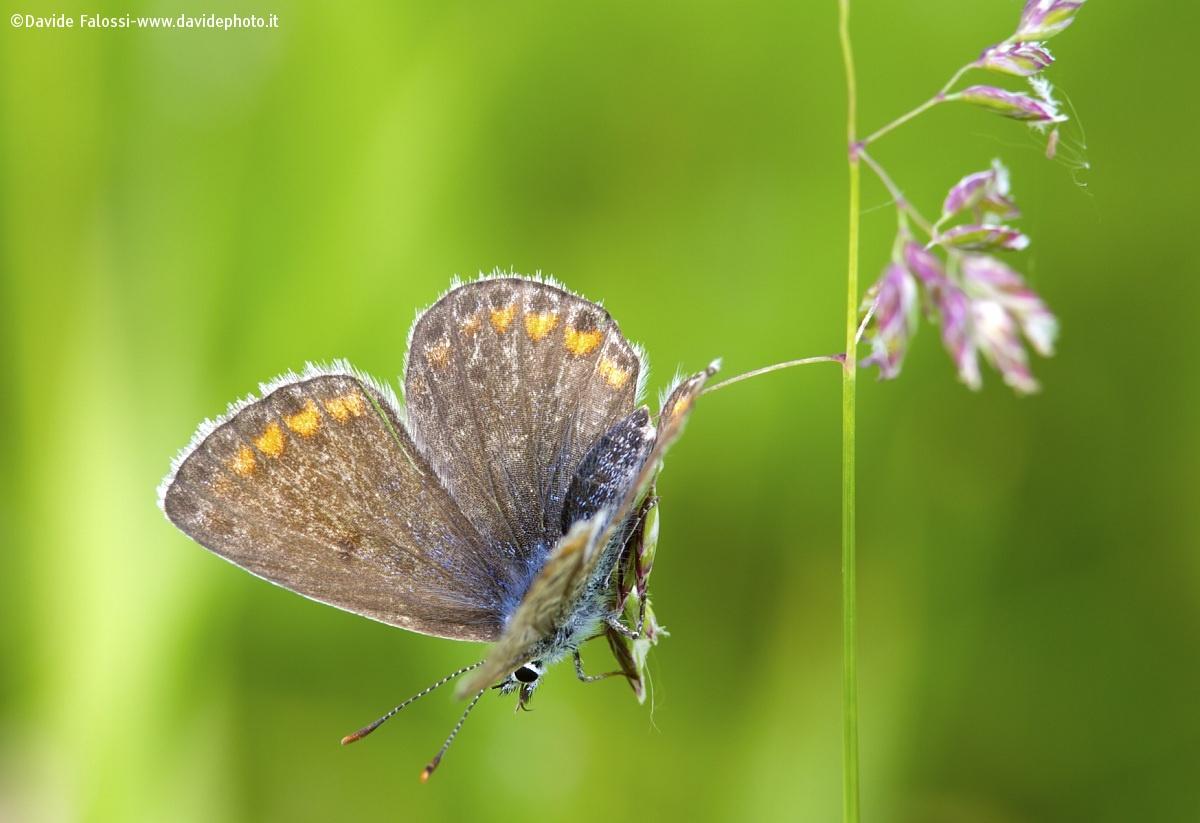 Lycaenidae...