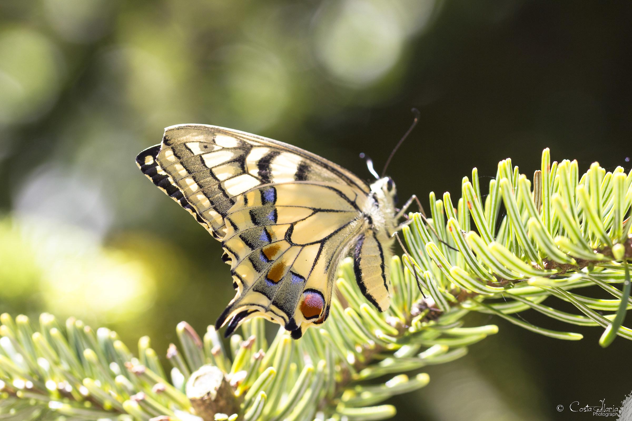 Papilio thoas...