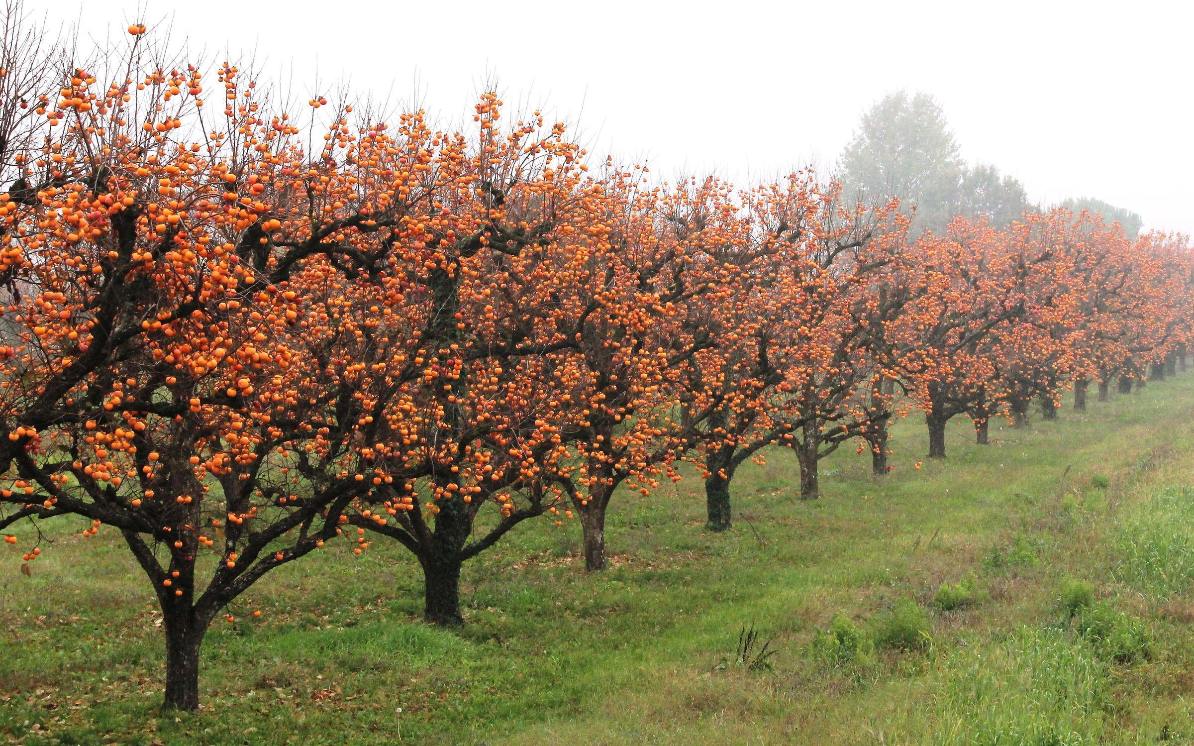 The country of persimmon ......